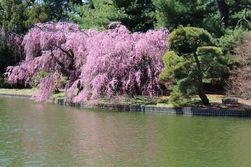 Plant Tree Growth Beauty In Nature Flower Flowering Plant Water Pink Color Springtime
