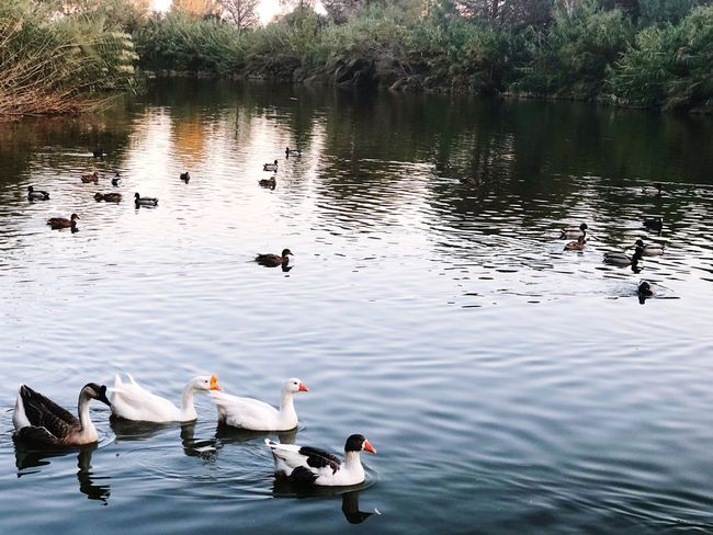 Nature Beauty Plants Trees Reflection Lake Water Bird Group Of Animals Animal Themes Animal Lake Animals In The Wild Poultry Swimming Duck Reflection Waterfront High Angle View Water Bird Animal Wildlife Vertebrate Nature Swan Day No People Autumn Mood