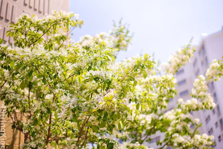Fringe tree Fringe Tree EyeEm Selects Plant Growth Beauty In Nature Flowering Plant Nature No People Flower Day Building Exterior Built Structure Architecture Freshness Outdoors Low Angle View Tree Sky Sunlight Building Green Color Fragility