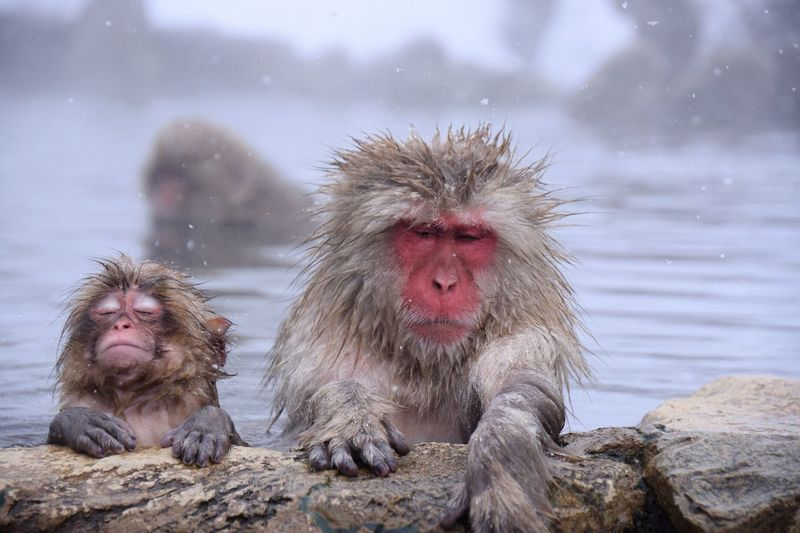 Jigokutani Moneky Onsen Wild Animals Macaque Monkey Yaenkoen Japan Animal Animal Themes Monkey Animal Wildlife Animals In The Wild Primate Mammal