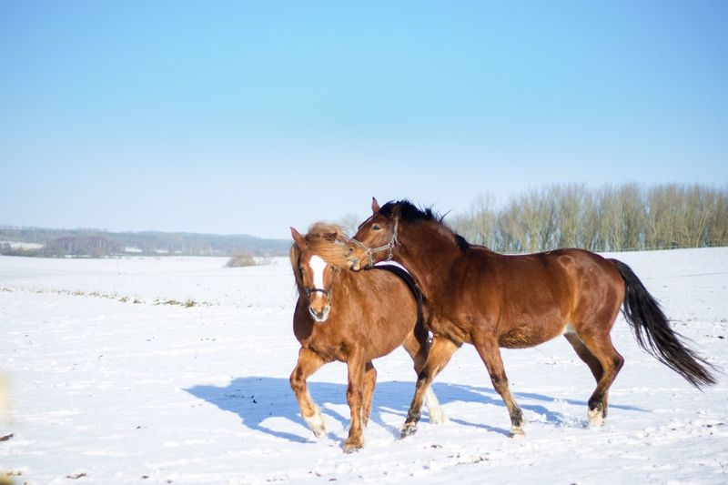 Domestic Animals Horse Animal Themes Winter Clear Sky Snow Nature Cold Temperature Landscape Outdoors Playing Horses
