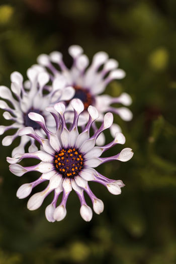 Osteospermum Whirligig daisy with white petals and purple edges and pinched petal ends. Beauty In Nature Close-up Daisy Day Flower Flower Head Flowers Fragility Freshness Garden Nature No People Osteospermum Outdoors Petals Pinched Twisted Petals Whirligig Daisy