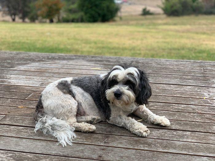 Portrait of a dog sitting on wood
