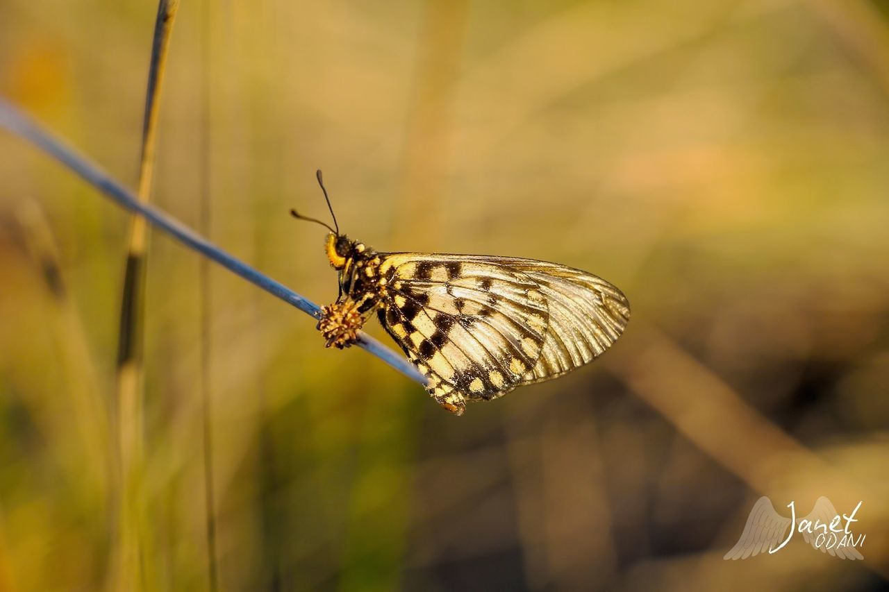 animal wildlife, insect, animal, invertebrate, animal themes, animals in the wild, one animal, animal wing, butterfly - insect, beauty in nature, focus on foreground, plant, close-up, flower, day, no people, nature, growth, animal antenna, butterfly, pollination