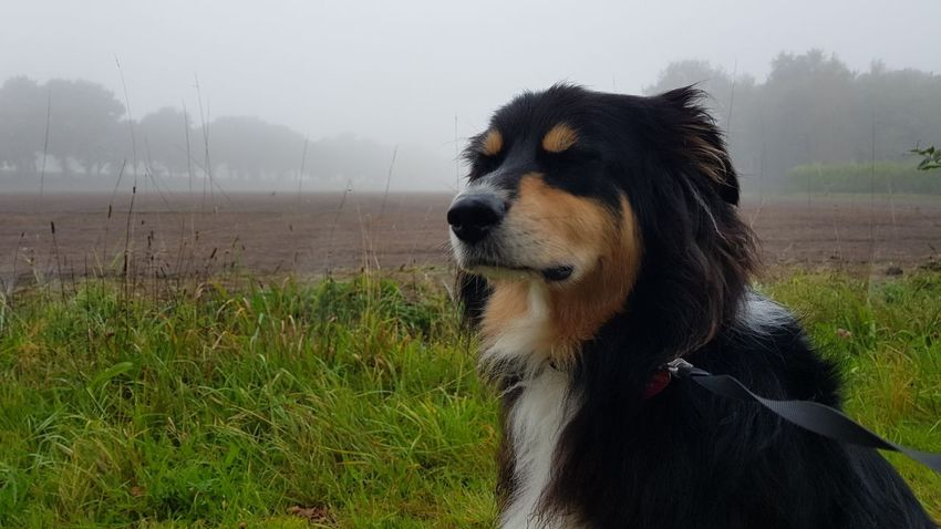 Dog Pets Grass Outdoors One Animal Nature Domestic Animals No People Day Mammal Fog Water Dreaming Dog Dog❤ Australianshepherd Sitting Nature Gassi Landscape Beauty In Nature