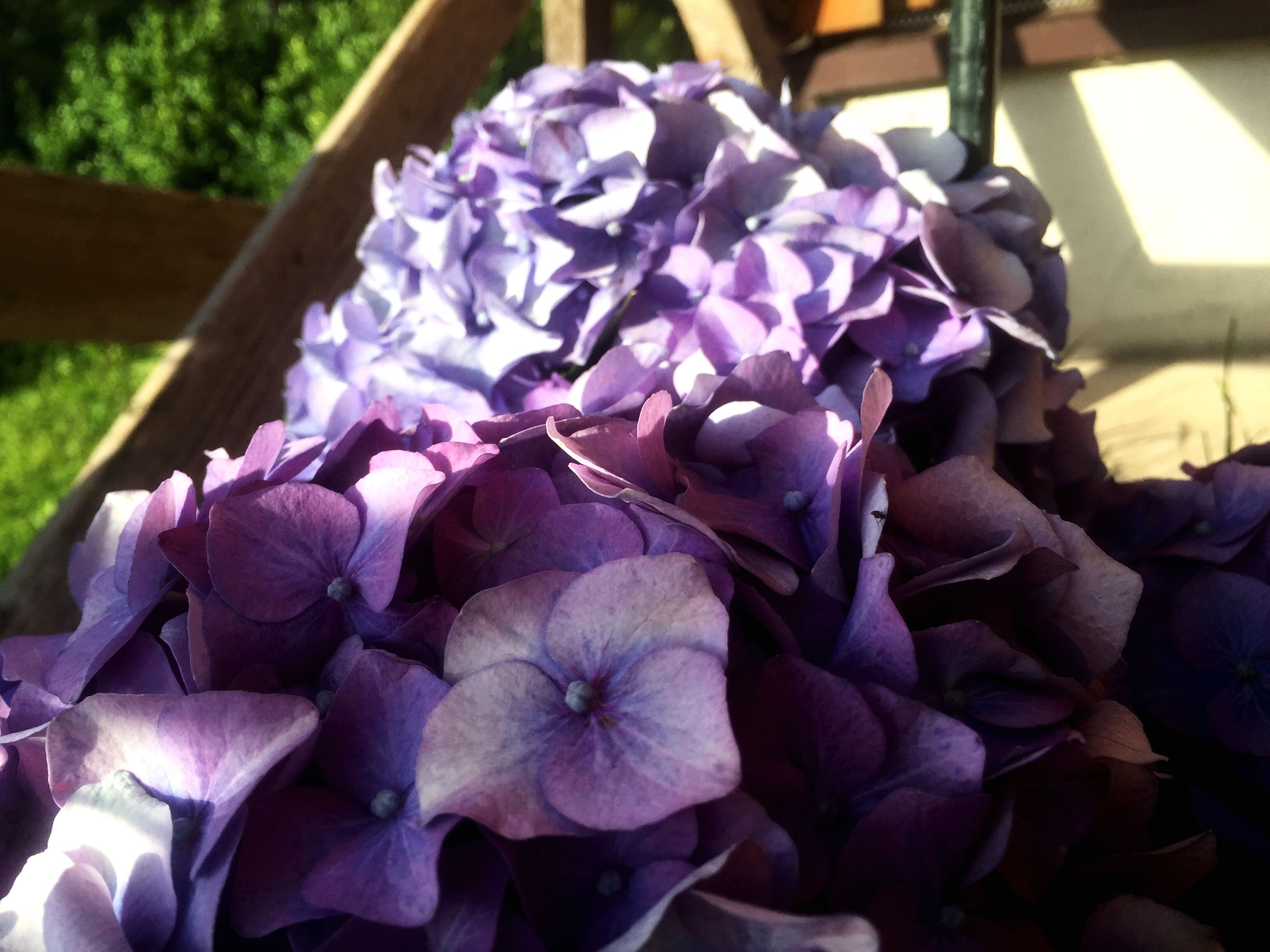 flower, purple, petal, beauty in nature, fragility, nature, growth, freshness, day, flower head, plant, outdoors, sunlight, hydrangea, no people, close-up, blooming, petunia