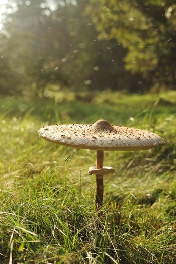 Big mushroom Mushroom Nature Fungus Growth Beauty In Nature Toadstool Grass Day Outdoors No People Close-up Focus On Foreground Freshness Fly Agaric Fly Agaric Mushroom