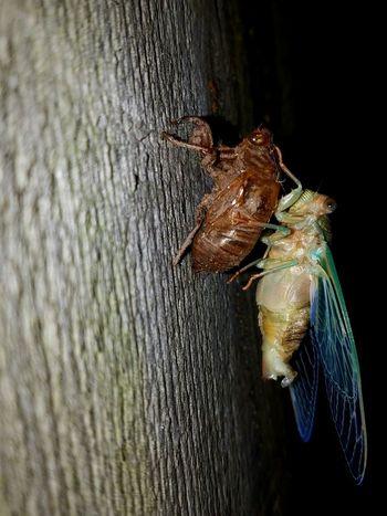 Cicada emerging Cicada Cicada's Shell Insect Entemology Bugs Life Bugs Close-up Cedar Rapids Iowa Canman Show Studio