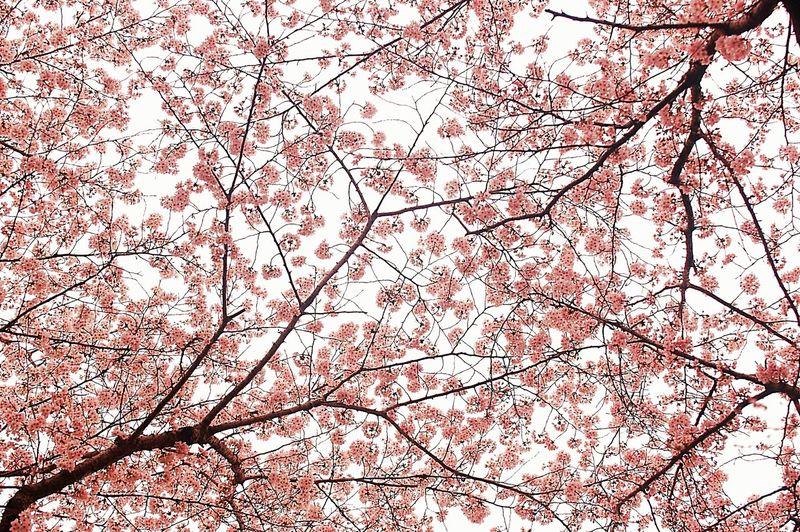 桜満開。 Relaxing Cherry Blossoms Sakura 桜 Blossom EyeEm Nature Lover 春 Spring Colors Japan Spring Time Pink Spring Colours Flower Collection EyeEm Flower