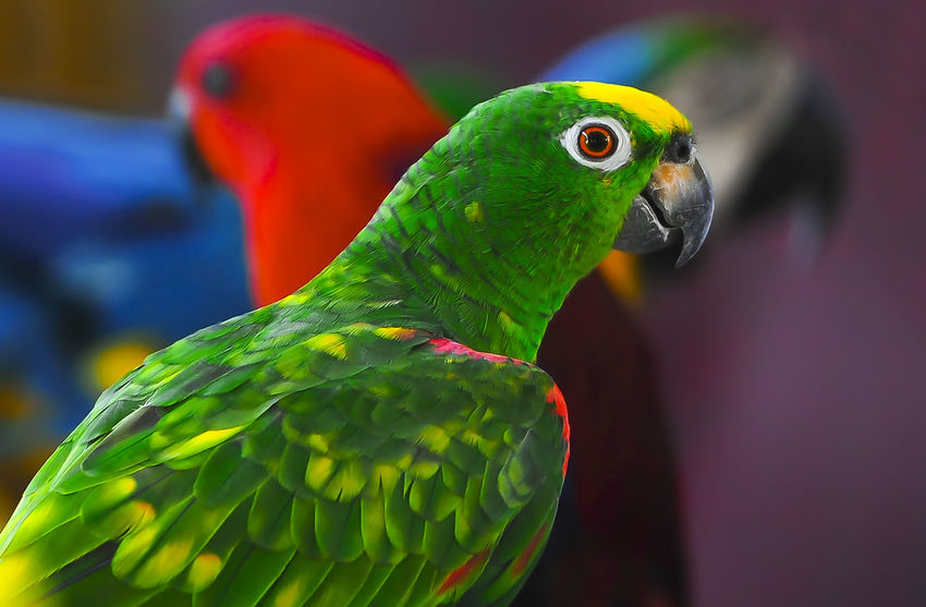 Close up. Green Parrot Animal Animal Body Part Animal Family Animal Head  Animal Themes Animal Wildlife Animals In The Wild Beak Bird Close-up Day Focus On Foreground Green Color Multi Colored Nature No People One Animal Outdoors Parrot Rainbow Lorikeet Vertebrate