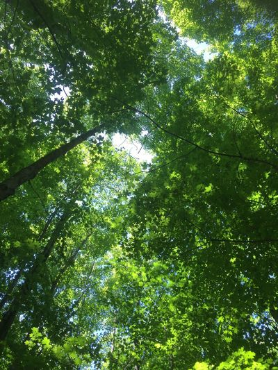 Peaceful Skyward View Bamboo - Plant Directly Below Land Sunlight Day Branch Lush Foliage Foliage Tranquility Forest Tree Canopy  Backgrounds Outdoors Nature Beauty In Nature Growth No People Full Frame Low Angle View Green Color Plant Tree Tree Canopy