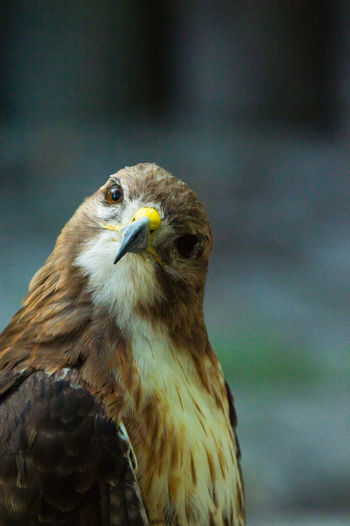Alertness Animal Eye Animal Head  Animal Themes Beak Bird Bird Of Prey Bird Photography Birds Birds_collection Curiosity Day Focus On Foreground Hawk Nature Nature Nature Photography Nature_collection No People Portrait Wildlife Wildlife & Nature