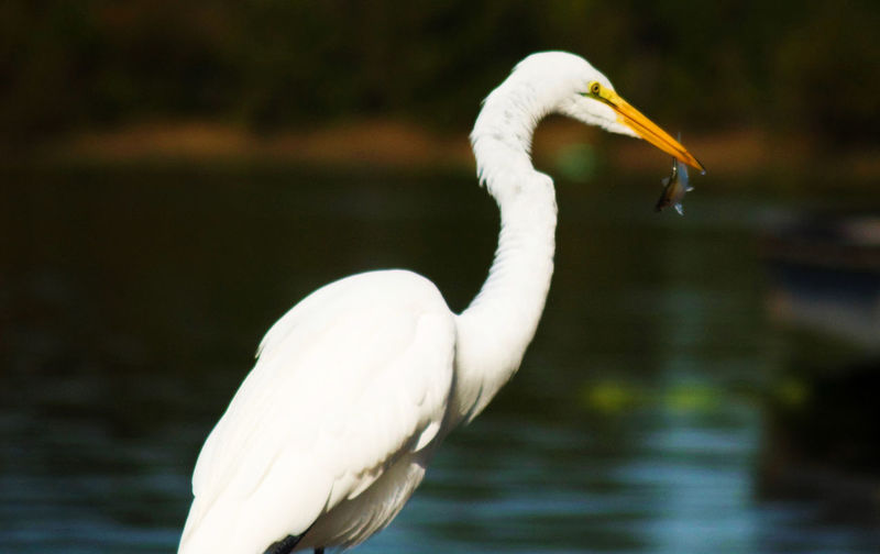 Great egret carrying fish in mouth at lake