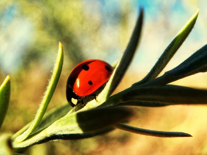 It's a lady Insect Invertebrate Animals In The Wild Animal Wildlife Animal Themes Animal One Animal Plant Ladybug Close-up Beetle Red Nature Focus On Foreground Beauty In Nature No People Flower Day Spotted Growth