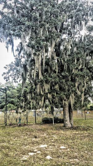 Mossy Oaks Oak Trees Graveyard Collection Graveyard Beauty