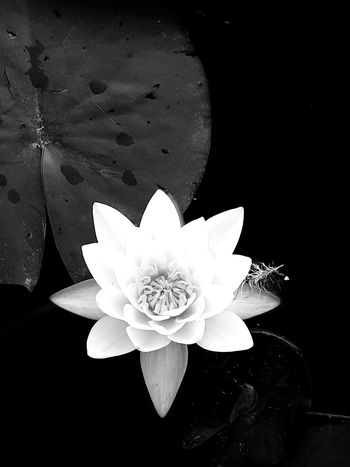 Black and white photo of a white Lilly flower near a water lilly pad with water droplets upon it. Blackandwhite Photo White Water Lily Waterdrops Pond Pondlife Water Lillies Water Lily, Flower Blackandwhite Photography Petal Flower Nature No People Water Close-up Flowers Flower Head Beauty In Nature Outdoors Tranquility