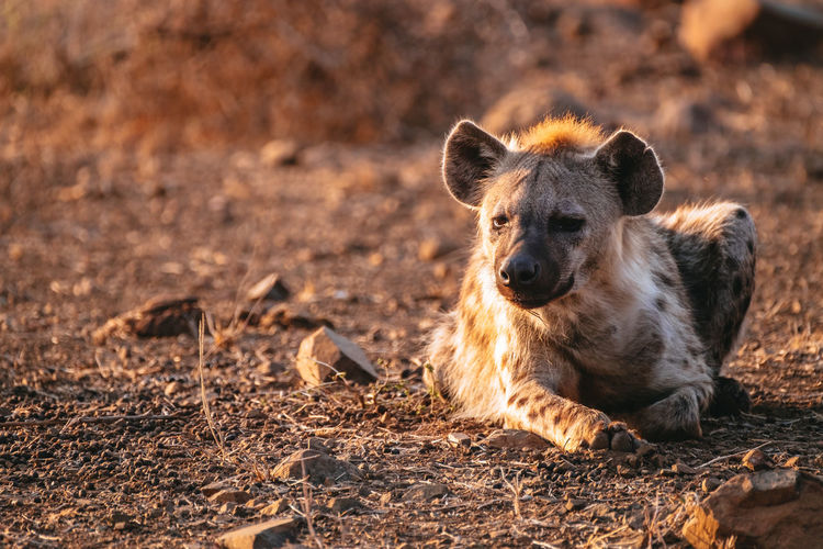 Spotted hyena lying down