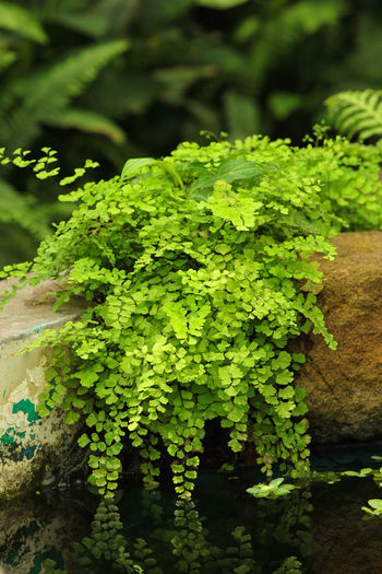 Plant Green Color Growth Nature No People Plant Part Leaf Close-up Freshness Tranquility Water Selective Focus Focus On Foreground Pond