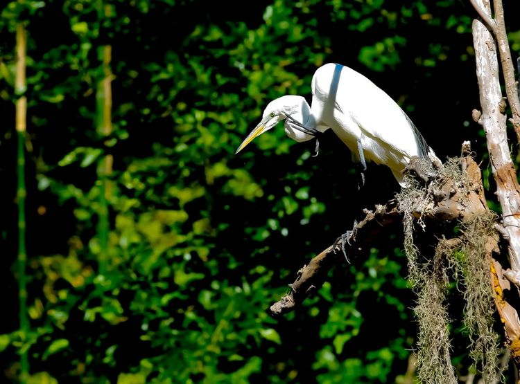 JGLowe Egret Heron Perching Wildlife Photography Wild Animal Trees JGLowe Plant Animal Themes Animal Wildlife Animal Animals In The Wild Focus On Foreground No People One Animal Beauty In Nature Nature Day Close-up Tree White Color Bird