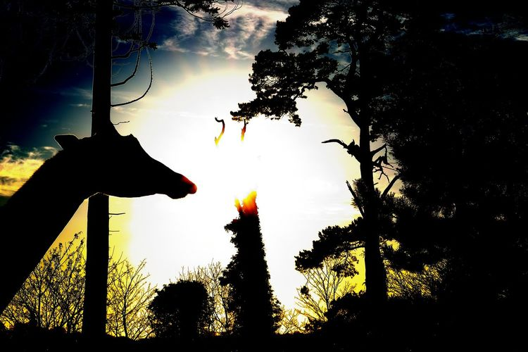 Animal Themes Beauty In Nature Cloud - Sky Day Giraffe Low Angle View Nature No People Outdoors Silhouette Sky Sun Sunlight Sunset Tree