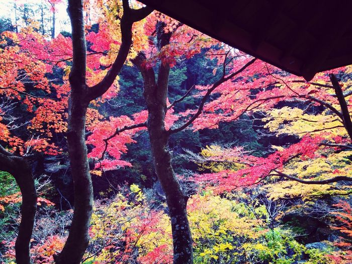 Autumn Colors Autumn RedLeaves Japanese Maple