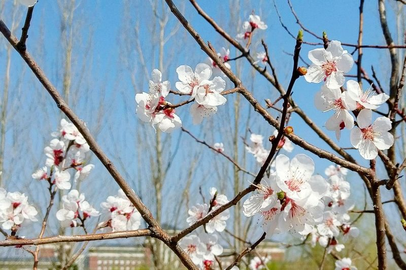 Flowers Apricot Changchun Blue Sky Spring Trees Campus Still Life Still Life Photography The Great Outdoors - 2016 EyeEm Awards
