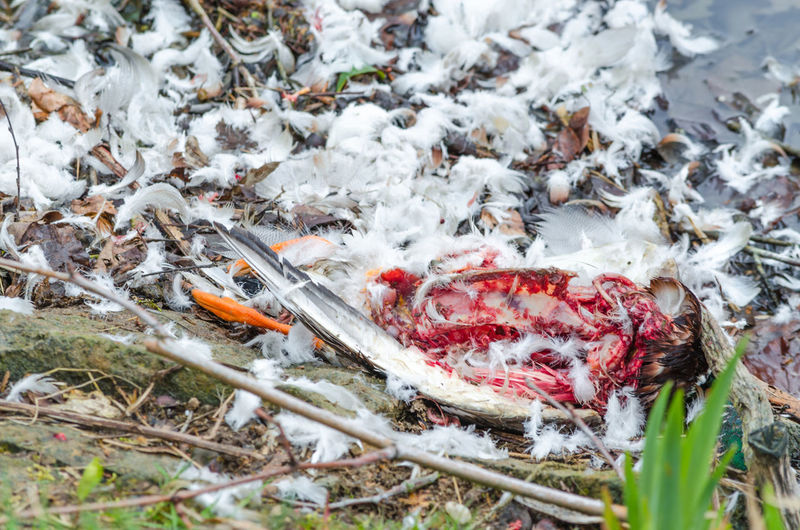 High angle view of dead bird carcass with scattered feathers in swamp