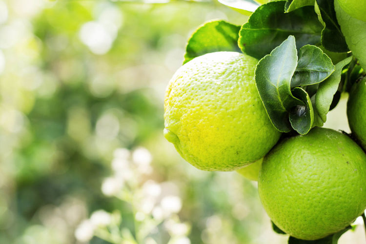 Beauty In Nature Branch Citrus Fruit Close-up Day Focus On Foreground Food Food And Drink Freshness Fruit Green Color Growth Healthy Eating Leaf Nature No People Outdoors Tree