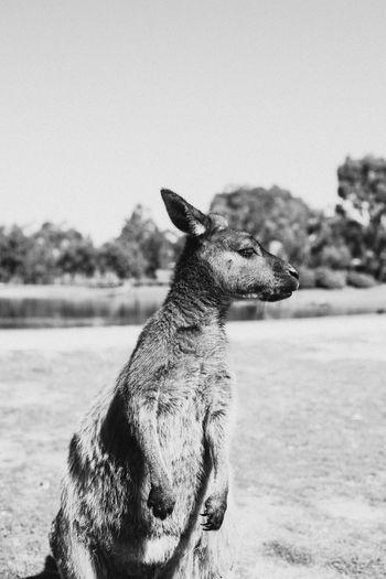 Animal Themes Nature Animal Park Outdoors Blackandwhite Kangaroo South Australia Australian Culture
