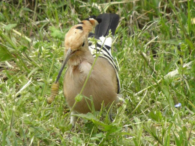 Eating Prey Larva  Grass Animal Themes One Animal Green Color Outdoors Day Nature No People Bird Watching Beak Hoopoe Zoology Hunting Animals In The Wild Bird Bird Photography Animal Wildlife Birdwatching Grass Close-up Looking At Camera Nature