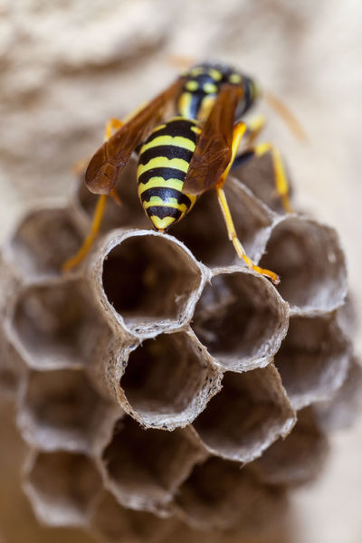 Paper Wasp building Nest Macro Photography Nesting Paper Wasp Animal Themes Animals In The Wild APIculture Bee Beehive Close-up Day Honey Bee Honeycomb Insect Macro Nature Nest No People Oculii Outdoors Paper Wasp Nest