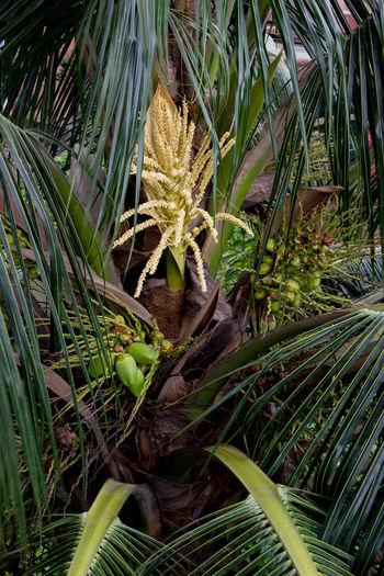 Coconutflower Coconutfruit Viewfrommywindow ViewFromMyBalcony