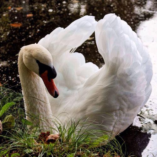 Swan In Love Anxious  Awaiting