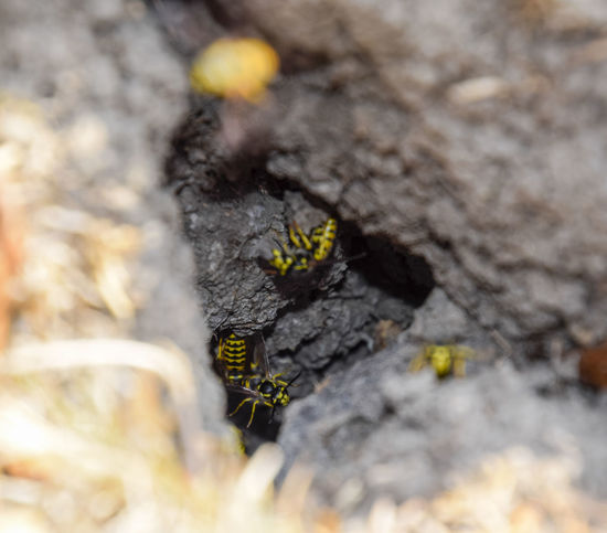 Vespula vulgaris. Destroyed hornet's nest. Drawn on the surface of a honeycomb hornet's nest. Larvae and pupae of wasps. vespula, vulgaris, wasp, mink, nest, fly, destroyed, gutted, killed, collapsed, dead, dismantled, pulled, larvae, pupae, death, excavated, sting, predator, forager, insect, striped, hymenoptera, animals, colony, insects, macro, nature, poisonous, summer, stinger, antenna, filigree, stinging, bee, hexagon, hornet, bug, wasps, chew, wing, fragility, common, pollen, laying, wood, paper, honey, arthropoda, vespiary Beauty In Nature Close-up Day Fragility Freshness Growth Nature No People Outdoors Selective Focus Textured  Tree Vespula Vespula, Vulgaris, Wasp, Mink, Nest, Fly, Destroyed, Gutted, Killed, Collapsed, Dead, Dismantled, Pulled, Larvae, Pupae, Death, Excavated, Sting, Predator, Forager, Insect, Striped, Hymenoptera, Animals, Colony, Insects, Macro, Nature, Poisonous, Summer,  Vulgaris Wasp
