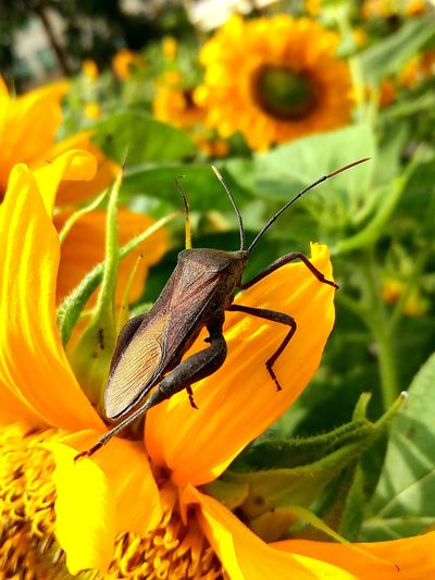 Stink bug, insect pest, brown , lighter brown wing, yellow sunflower background, macro, closed up Bug World