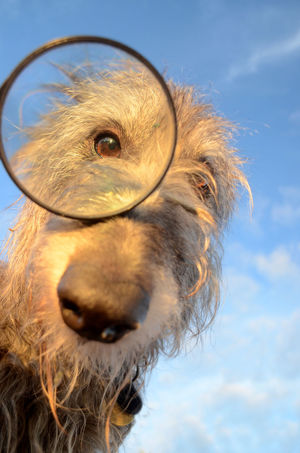 Deerhound Professor Scottish Animal Themes Close-up Day Dog Domestic Animals Eyeglasses  Focus On Foreground Looking At Camera Magnifier Mammal One Animal One Person Outdoors People Pets Portrait Sky