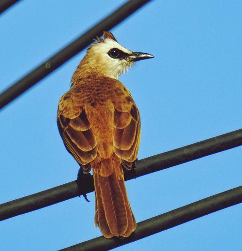 Pycnonotus
