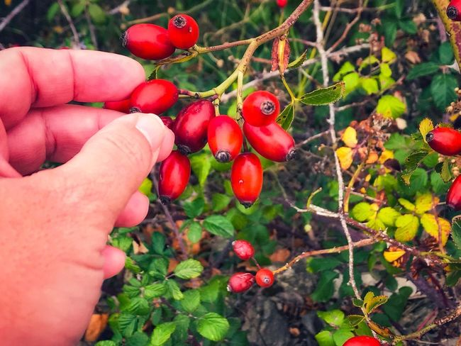 Adult Human Hand Human Body Part Red Fruit Holding One Person Rosa Canina Hips Wild Rose Rosa Canina Hips Hip Personal Perspective Food And Drink Growth Food Focus On Foreground Leaf Agriculture Nature Plant Real People Close-up Freshness Healthy Eating
