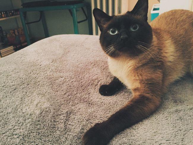 Cute Kedidir Kedi Catsagram Siamesecats Catsoneyeem VSCO Cam Bugununkaresi Kedi Cute Cats Vscogood
