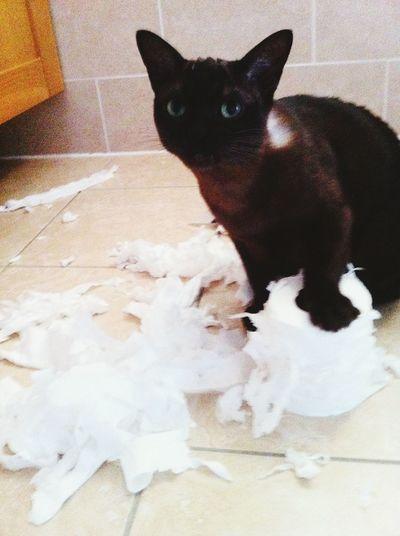 Naughty Cat Caught In The Act Burmese Toilet Paper Shredded