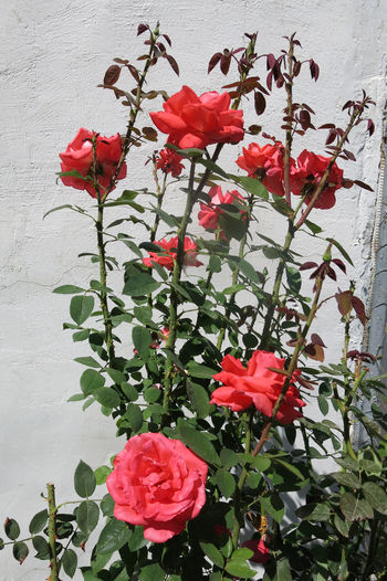 Armenia September Beauty In Nature Blooming Bougainvillea Day Flower Flower Head Fragility Freshness Growth Leaf Nature No People Outdoors Periwinkle Petal Plant Red Rose - Flower Rose Tree Roses Spring Travel Destination W-armenien