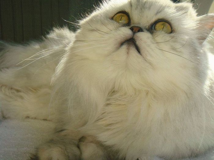 Persian Cat Whisker Close-up Domestic Animals Domestic Cat One Animal Pets Staring Indoors  Animal Hair No People Loyalty Family Cat Animal Eye Animal Themes