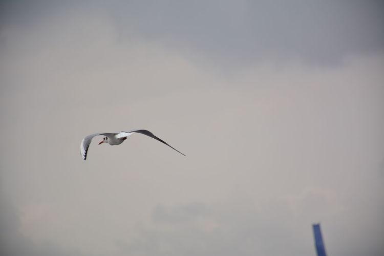 Bird Flying Nature Sky Outdoors Seagull Spread Wings Clods And Sky Clody Sky EyeEmNewHere EyeEm Nature Lover EyeEm Best Shots A New Beginning A New Beginning