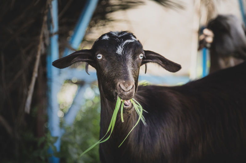 Close-Up Of Goat Eating Plants