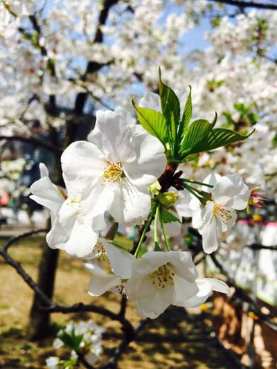 Narita Japan Photography White Flower Nature Flower Head Flower Tree Branch Springtime Blossom Petal White Color Close-up Plant Cherry Blossom