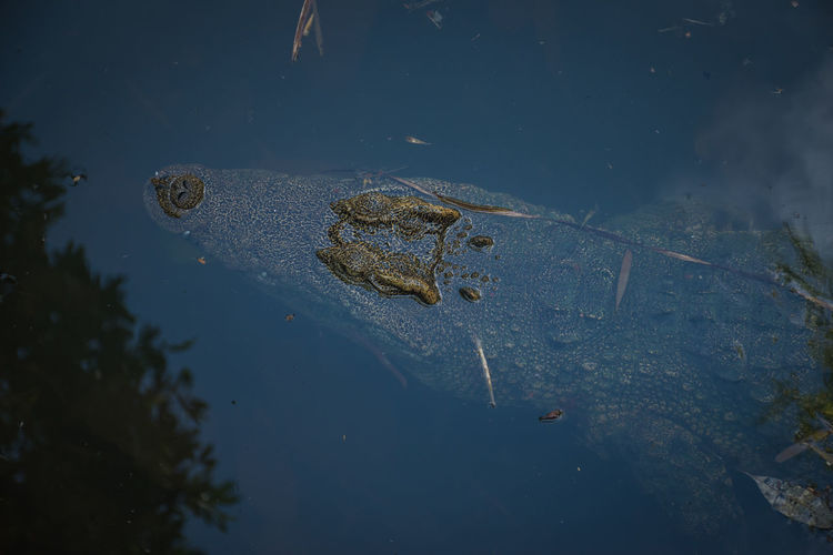 High angle view of crab swimming in lake