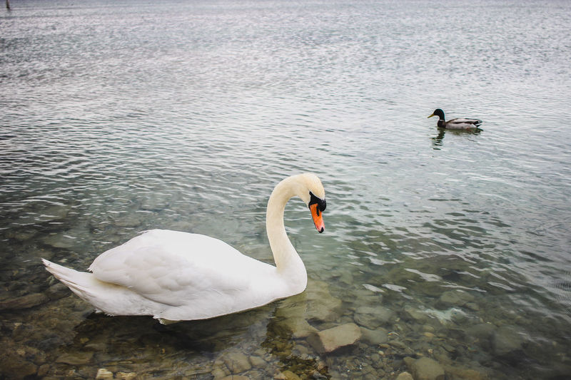 Animal Themes Animal Wildlife Animals In The Wild Beak Bird Black Swan Bodensee Cygnet Day Deutshland High Angle View Konstanz Lake Nature No People Outdoors Swan Swimming Togetherness Water Water Bird