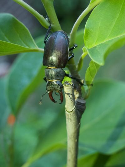 Lucanus Beetle Close-up Focus On Foreground Green Color Insect Invertebrate Leaf Zoology