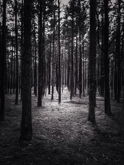In the pine forest MADE IN SWEDEN Mobilephotography Bw_collection Bw_trees Tree_collection