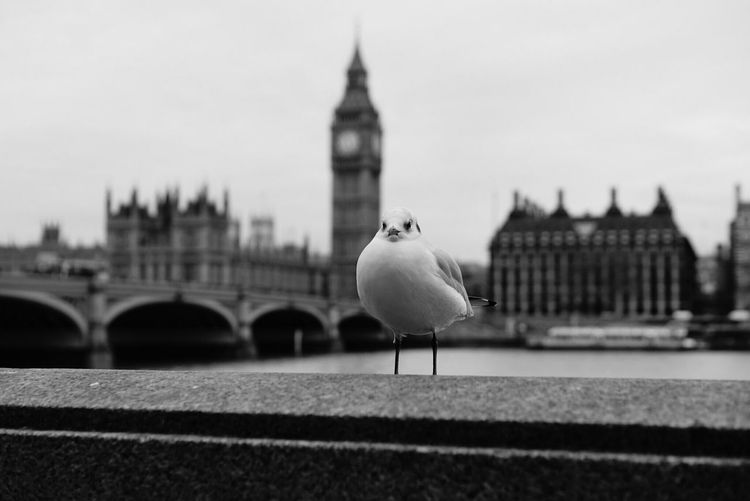 Seagull on retaining wall by thames river against big ben
